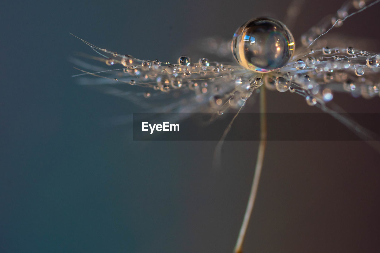Water drops on a dandelion seed