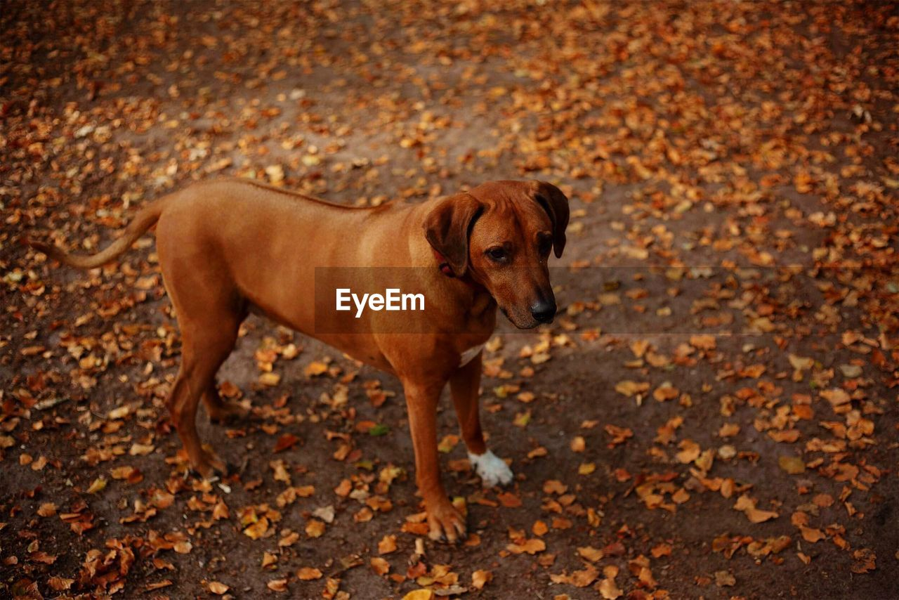one animal, mammal, animal, domestic, dog, pets, animal themes, canine, domestic animals, autumn, leaf, plant part, change, land, brown, nature, day, no people, portrait, standing, outdoors, leaves