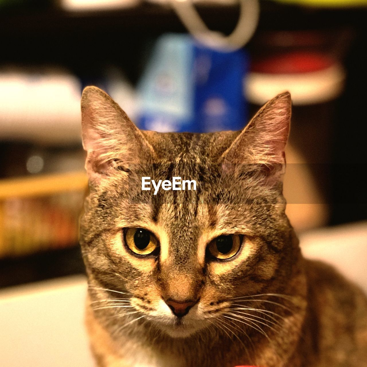 cat, domestic, domestic cat, pets, domestic animals, mammal, one animal, feline, looking at camera, portrait, vertebrate, focus on foreground, no people, close-up, whisker, indoors, animal body part, animal eye, tabby