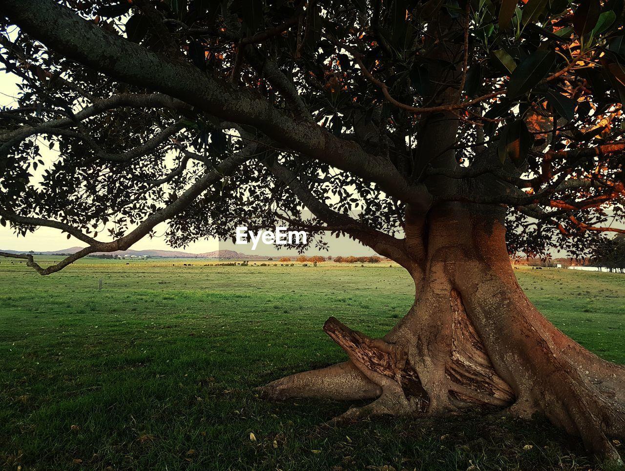 DEAD TREE ON FIELD