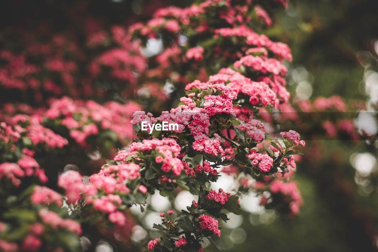flowering plant, flower, plant, freshness, beauty in nature, vulnerability, fragility, growth, pink color, selective focus, close-up, petal, inflorescence, flower head, day, nature, no people, outdoors, botany, focus on foreground, bunch of flowers