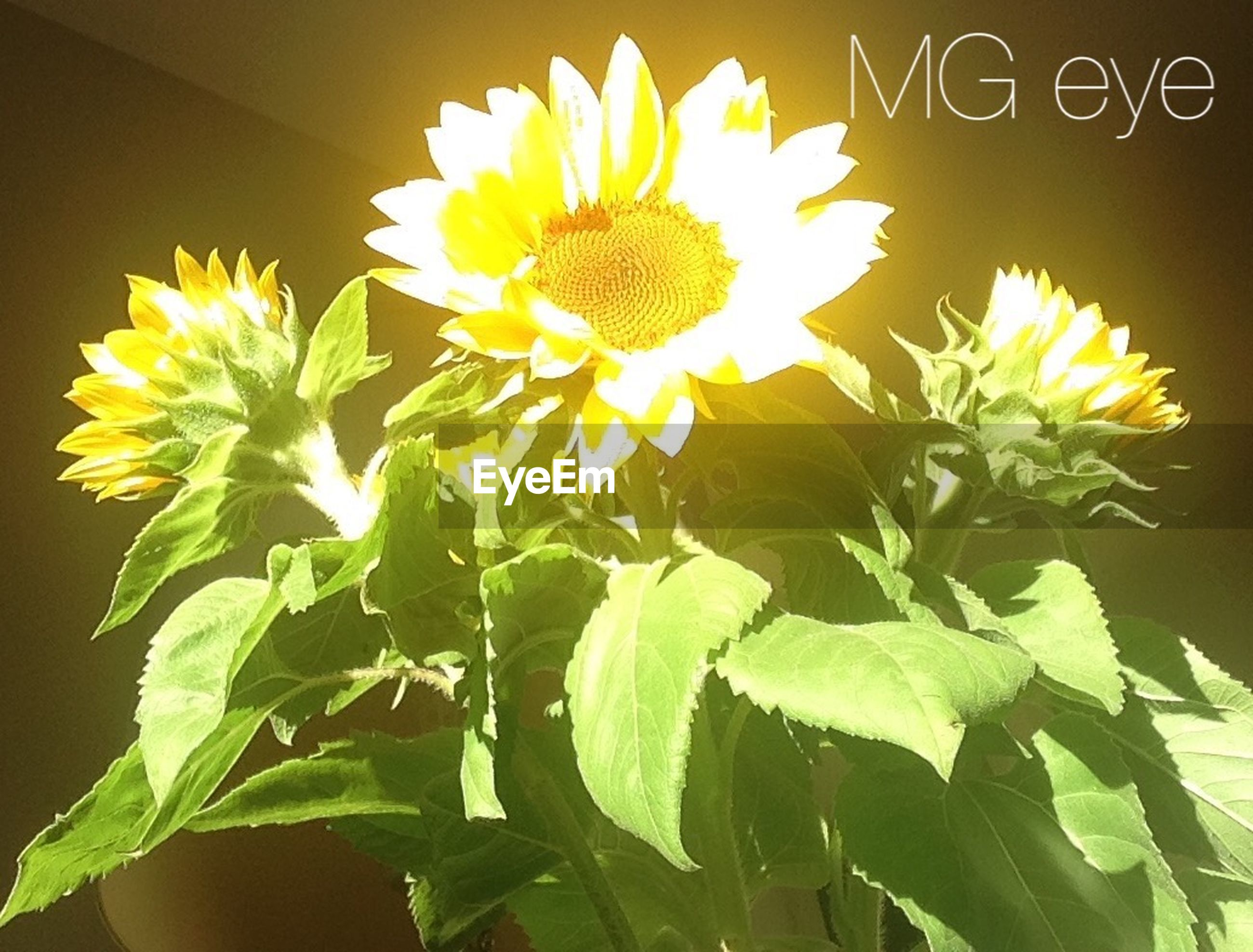 flower, freshness, growth, petal, fragility, leaf, yellow, beauty in nature, flower head, nature, plant, close-up, blooming, low angle view, green color, in bloom, no people, sunflower, sunlight, blossom