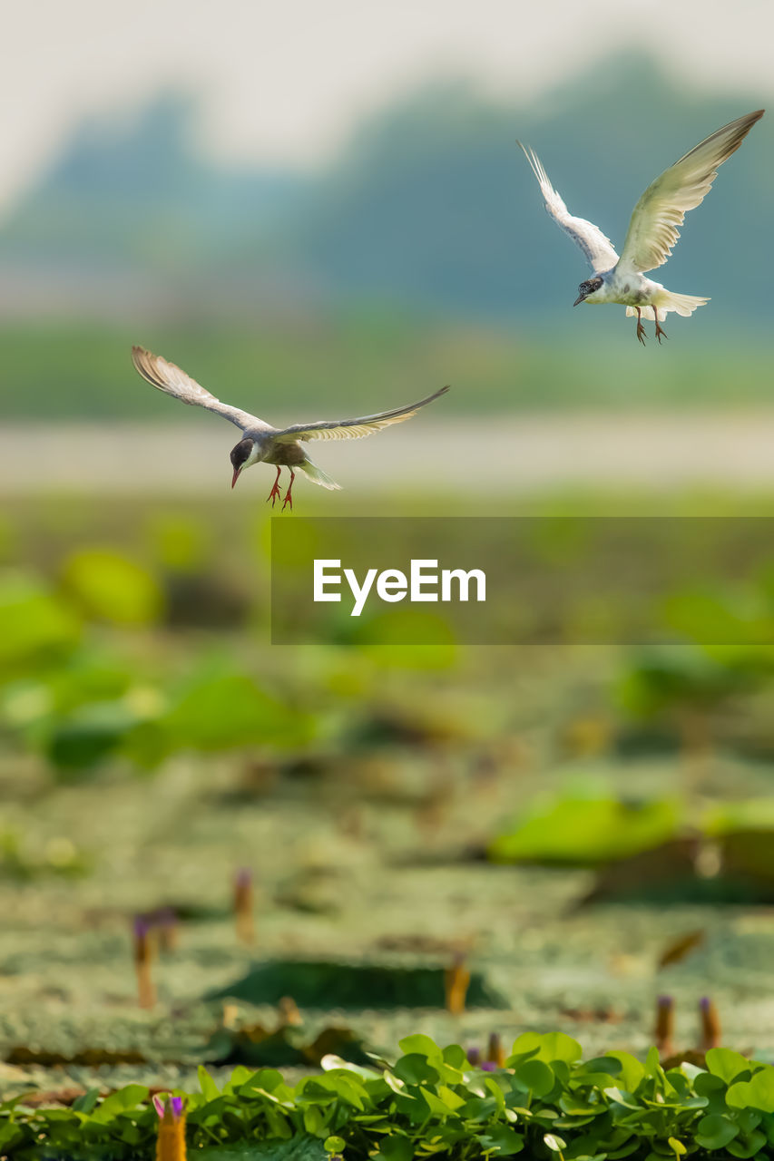 flying, spread wings, animal themes, animals in the wild, mid-air, animal, animal wildlife, bird, vertebrate, nature, one animal, day, no people, motion, plant, land, focus on foreground, selective focus, outdoors, beauty in nature