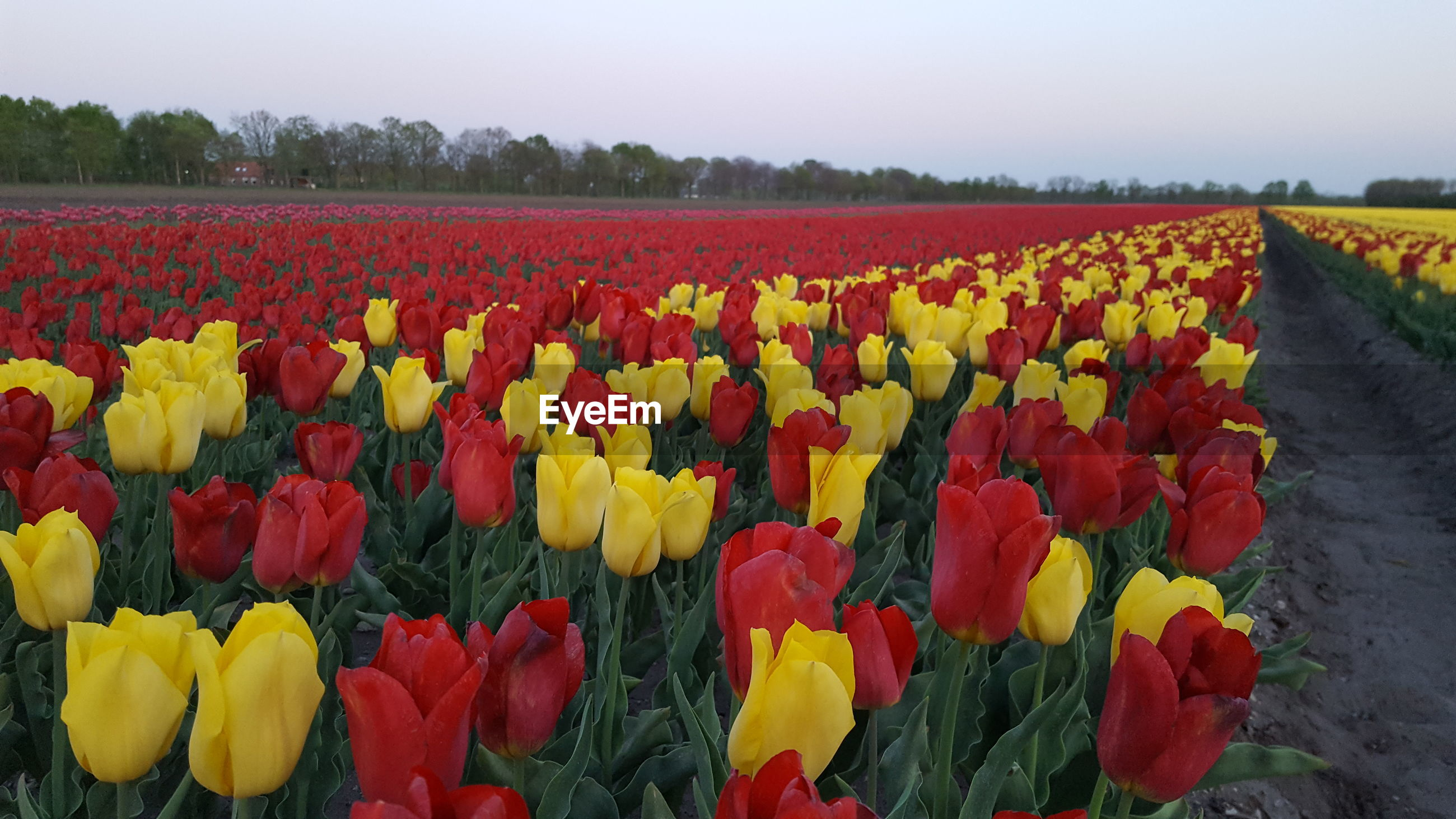 SCENIC VIEW OF RED TULIPS IN FIELD