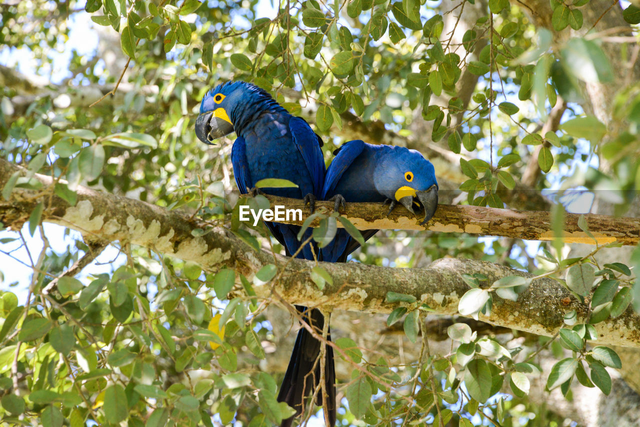 bird, vertebrate, animal, animal themes, animal wildlife, animals in the wild, tree, branch, perching, parrot, plant, group of animals, no people, low angle view, nature, leaf, plant part, day, outdoors, two animals