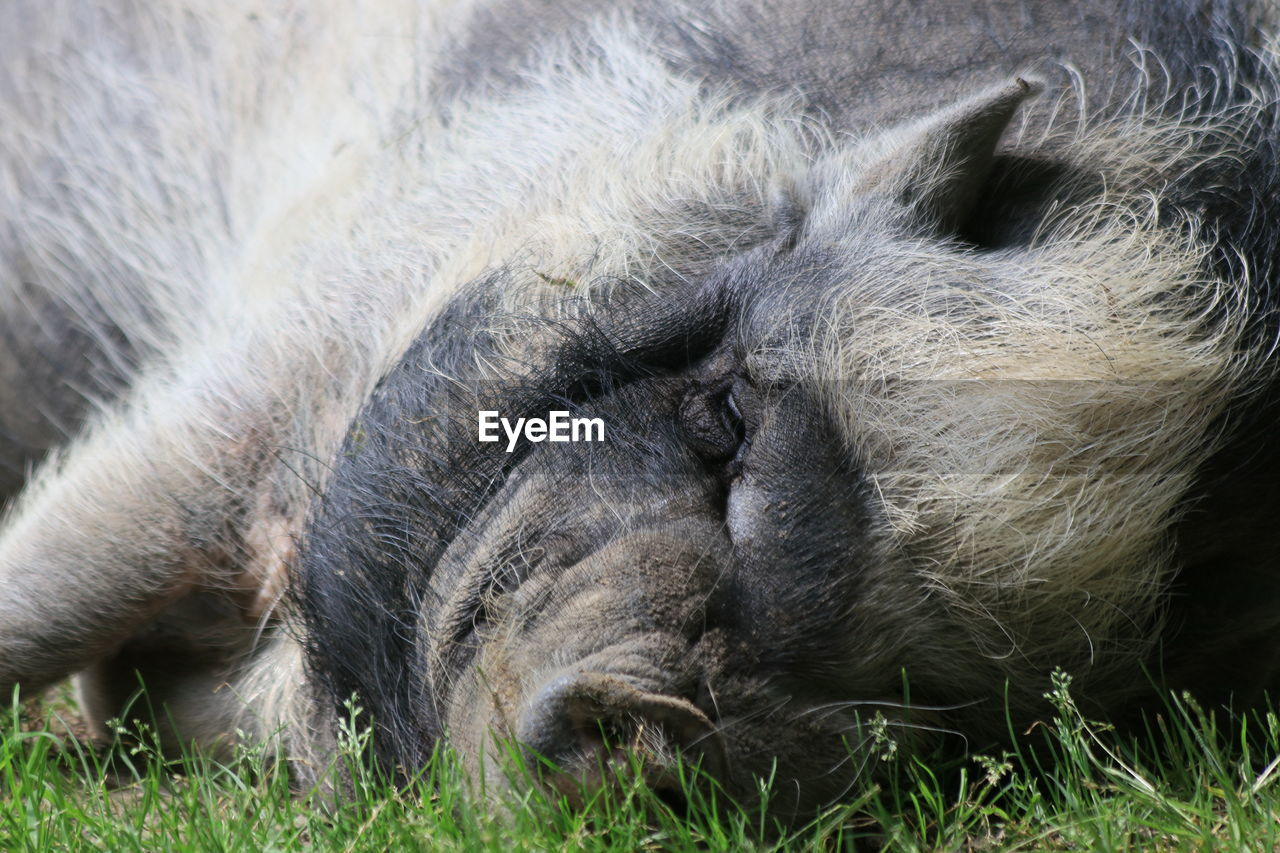 CLOSE-UP OF MONKEY SLEEPING