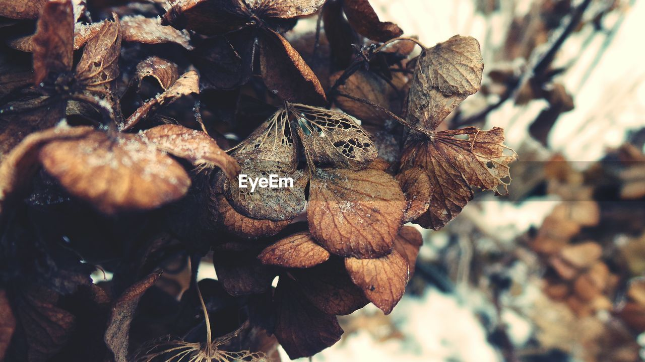 close-up, dry, no people, leaf, plant, nature, plant part, day, beauty in nature, brown, focus on foreground, selective focus, dried plant, fragility, vulnerability, wilted plant, pine cone, food and drink, fruit, food, outdoors, leaves, dead plant, dried