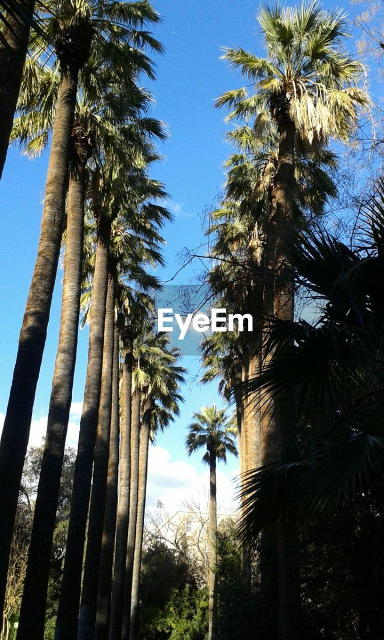 tree, palm tree, tree trunk, low angle view, growth, sky, no people, outdoors, day, nature, scenics, tranquility, beauty in nature, blue, clear sky
