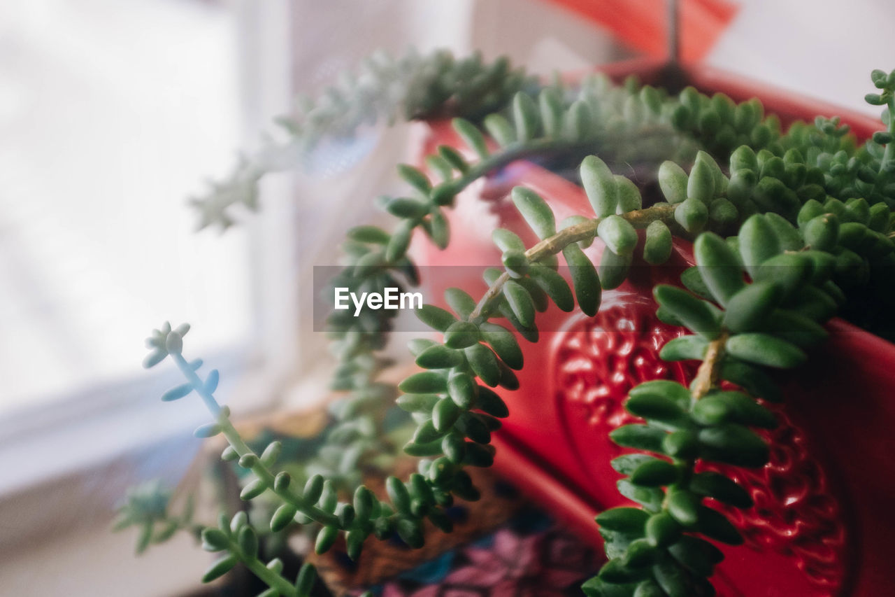 selective focus, close-up, green color, indoors, no people, growth, plant, freshness, nature, food and drink, beauty in nature, food, succulent plant, day, potted plant, still life, table, cactus, flower, decoration, houseplant