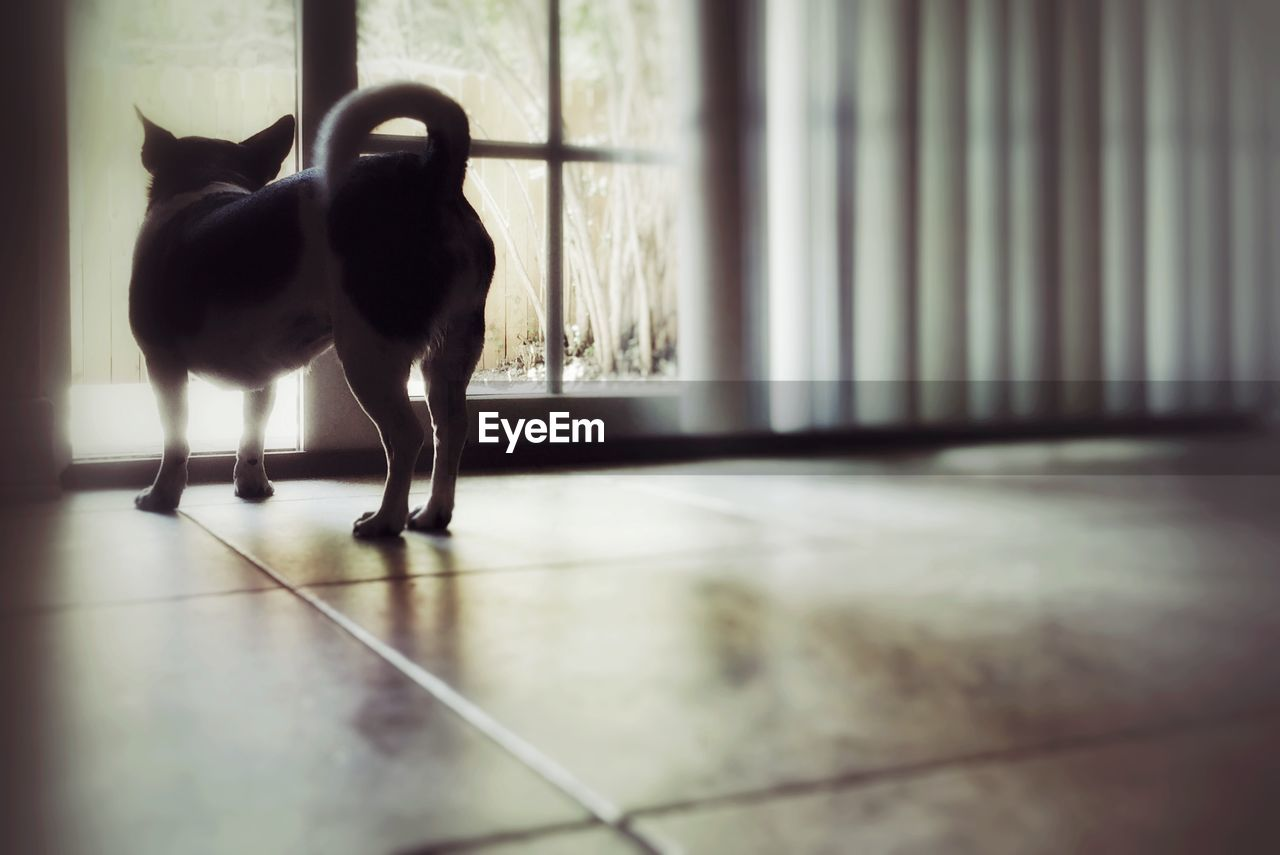 domestic animals, animal themes, dog, one animal, indoors, pets, mammal, no people, full length, day