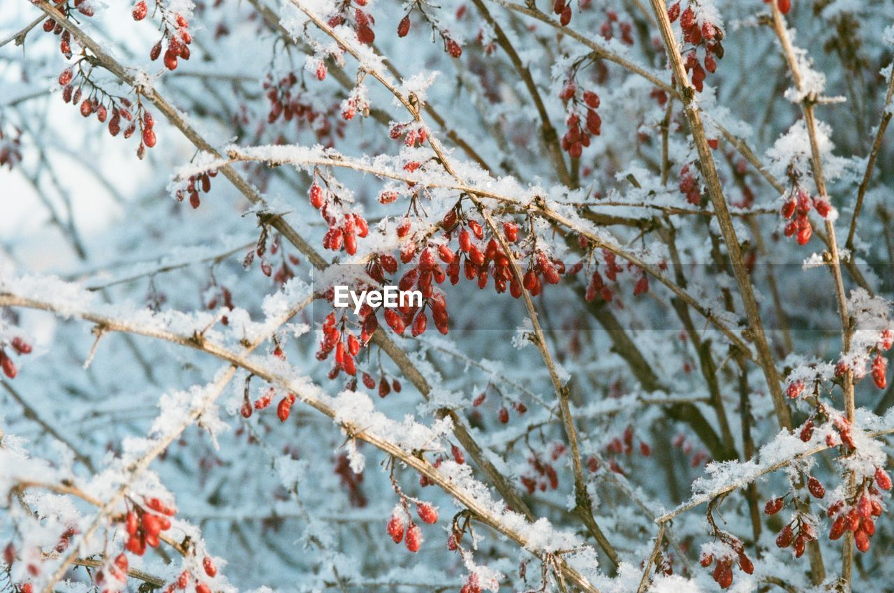 plant, branch, tree, growth, winter, beauty in nature, fruit, cold temperature, nature, snow, day, berry fruit, food and drink, no people, food, frozen, selective focus, close-up, healthy eating, outdoors, cherry tree, rowanberry