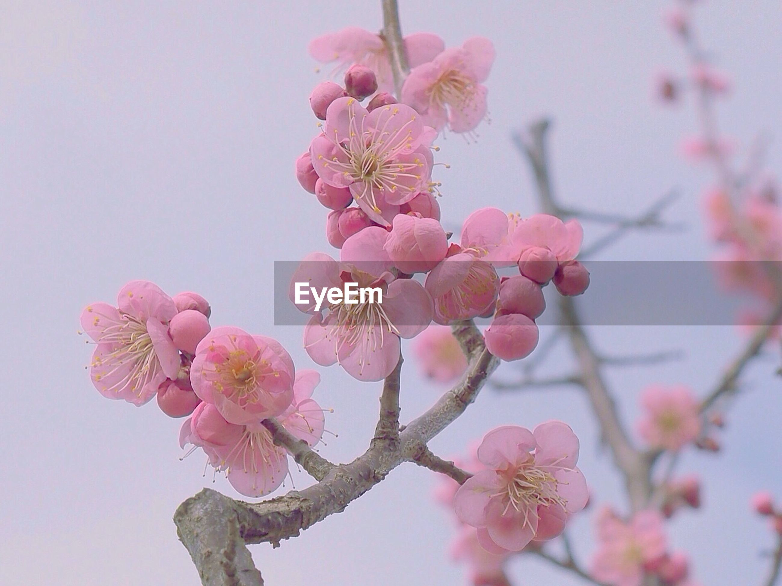 flower, freshness, pink color, branch, fragility, growth, beauty in nature, nature, tree, cherry tree, blossom, low angle view, twig, cherry blossom, petal, close-up, focus on foreground, pink, in bloom, bud
