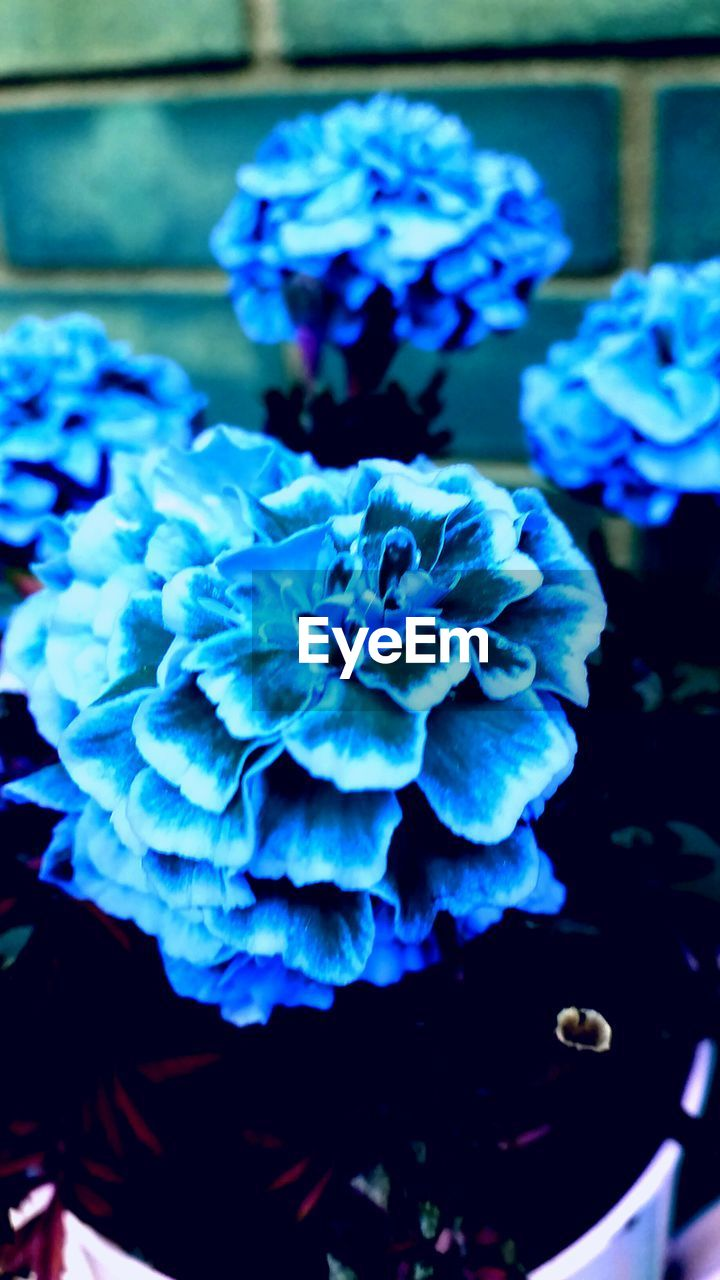 flower, beauty in nature, petal, nature, growth, fragility, freshness, plant, blue, hydrangea, close-up, flower head, no people, day, outdoors, blooming
