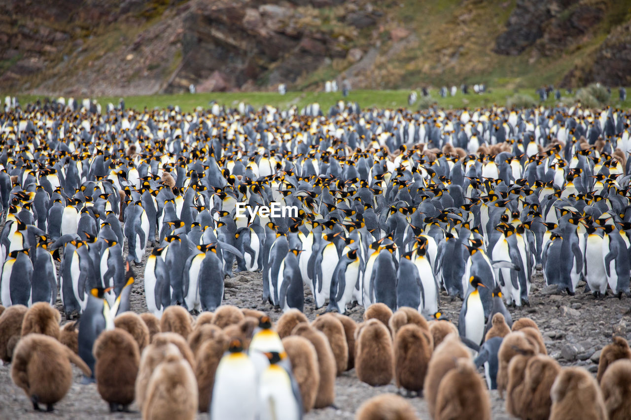 Herd of penguins on field
