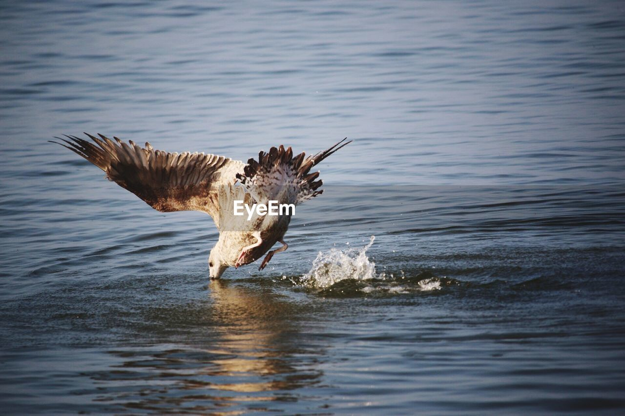 flying, one animal, water, spread wings, animal themes, animal, animal wildlife, waterfront, bird, vertebrate, animals in the wild, motion, no people, day, nature, sea, mid-air, beauty in nature, outdoors, seagull, eagle, flapping