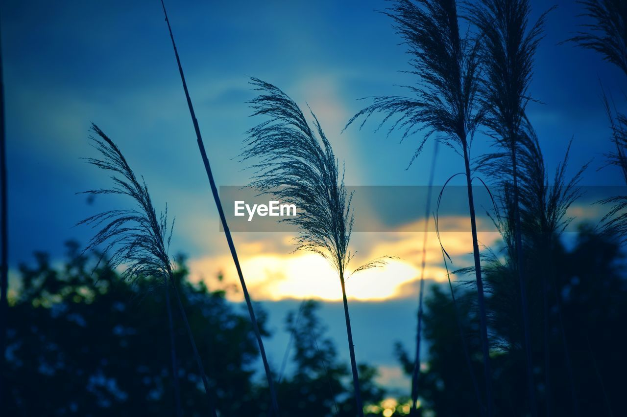 plant, sky, growth, sunset, beauty in nature, tranquility, tree, no people, nature, focus on foreground, silhouette, tranquil scene, outdoors, scenics - nature, cloud - sky, land, close-up, field, dusk, non-urban scene, timothy grass, stalk