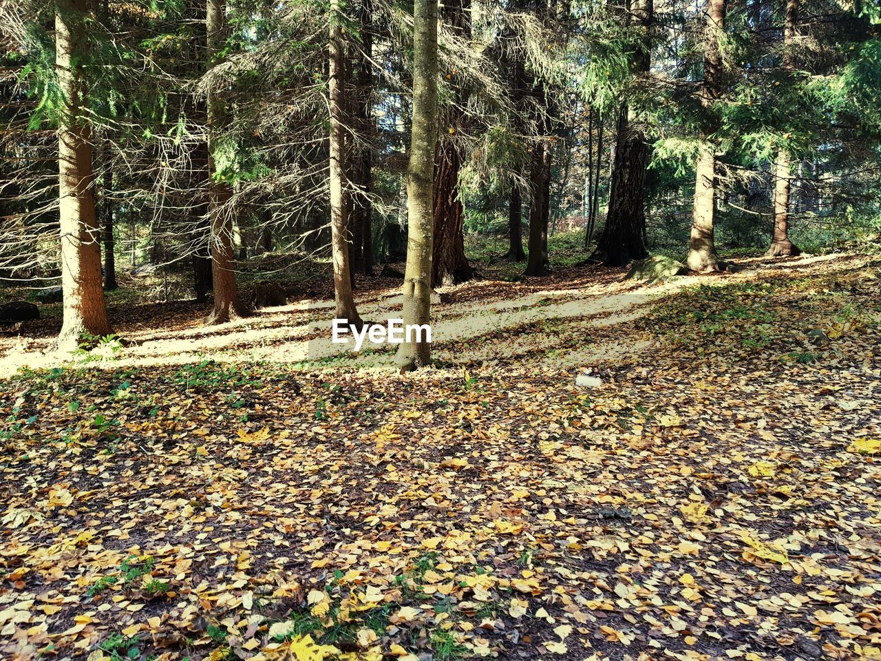tree, plant, land, forest, nature, tranquility, tree trunk, trunk, growth, beauty in nature, day, tranquil scene, plant part, leaf, no people, change, woodland, non-urban scene, falling, autumn, outdoors, leaves