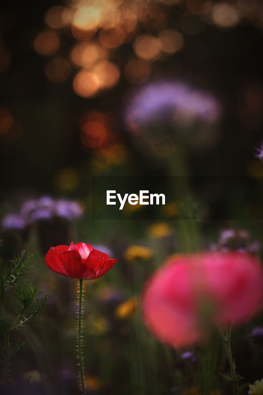 flower, flowering plant, plant, beauty in nature, vulnerability, freshness, fragility, close-up, petal, growth, inflorescence, flower head, nature, pink color, no people, focus on foreground, red, plant stem, selective focus, land, outdoors, purple