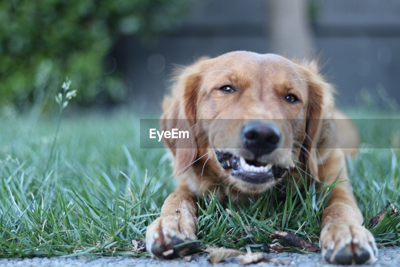 dog, one animal, canine, pets, domestic, animal themes, mammal, domestic animals, looking at camera, portrait, animal, vertebrate, plant, day, selective focus, grass, close-up, no people, land, nature, outdoors, mouth open, animal head, animal mouth