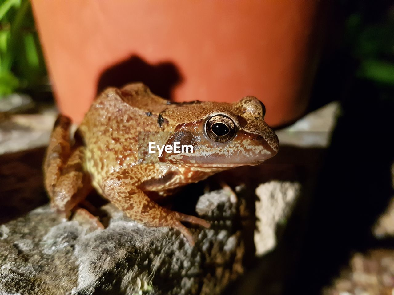 animal themes, animal, one animal, animal wildlife, close-up, vertebrate, animals in the wild, nature, no people, selective focus, amphibian, reptile, day, sunlight, lizard, frog, outdoors, solid, rock - object, rock, animal head, animal eye