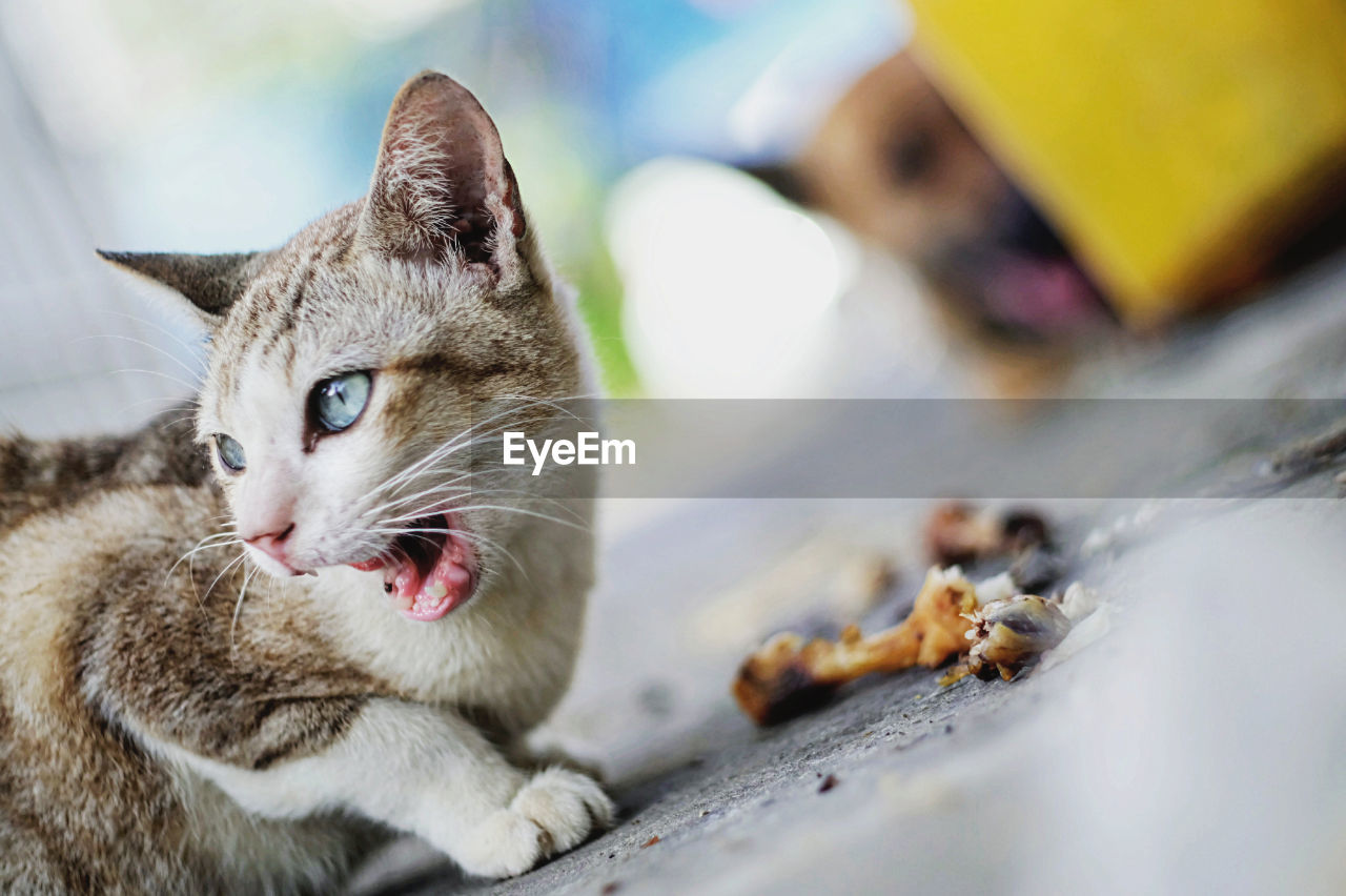 Tilt Image Of Cat Meowing On Footpath