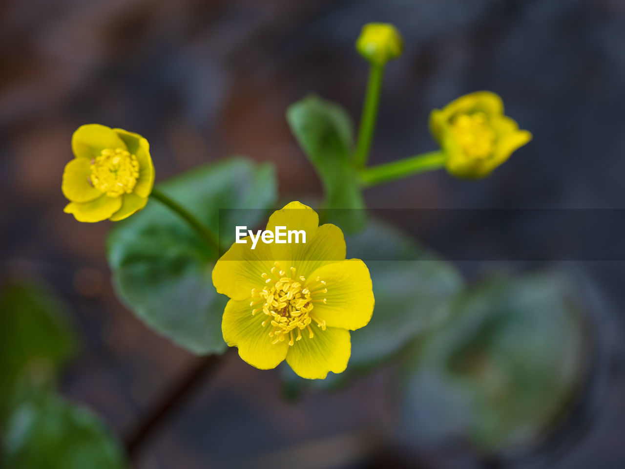 flowering plant, flower, yellow, fragility, vulnerability, freshness, growth, beauty in nature, plant, inflorescence, petal, flower head, close-up, focus on foreground, nature, day, no people, selective focus, outdoors, directly above