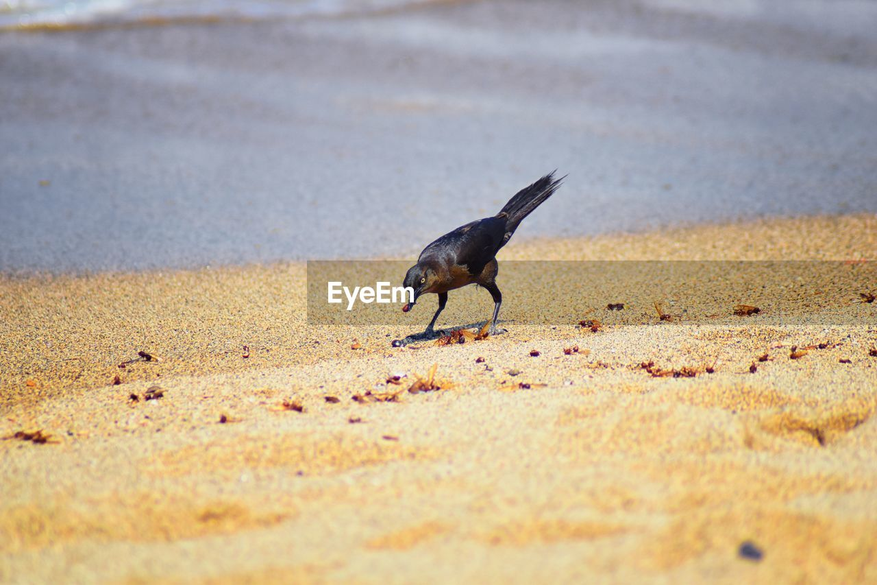 animal, animal themes, animals in the wild, animal wildlife, one animal, bird, vertebrate, land, selective focus, no people, day, beach, nature, sand, black color, outdoors, crow, water, sea