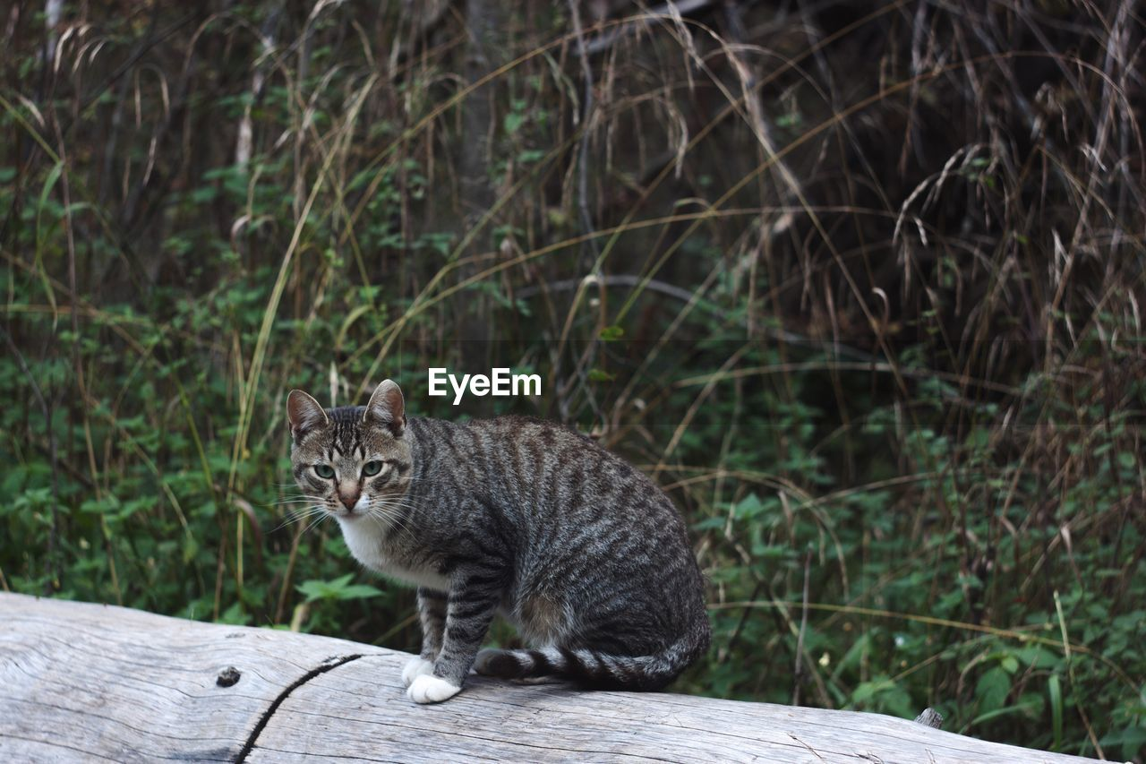 domestic cat, animal themes, feline, one animal, focus on foreground, sitting, outdoors, mammal, day, domestic animals, no people, looking at camera, pets, portrait, nature