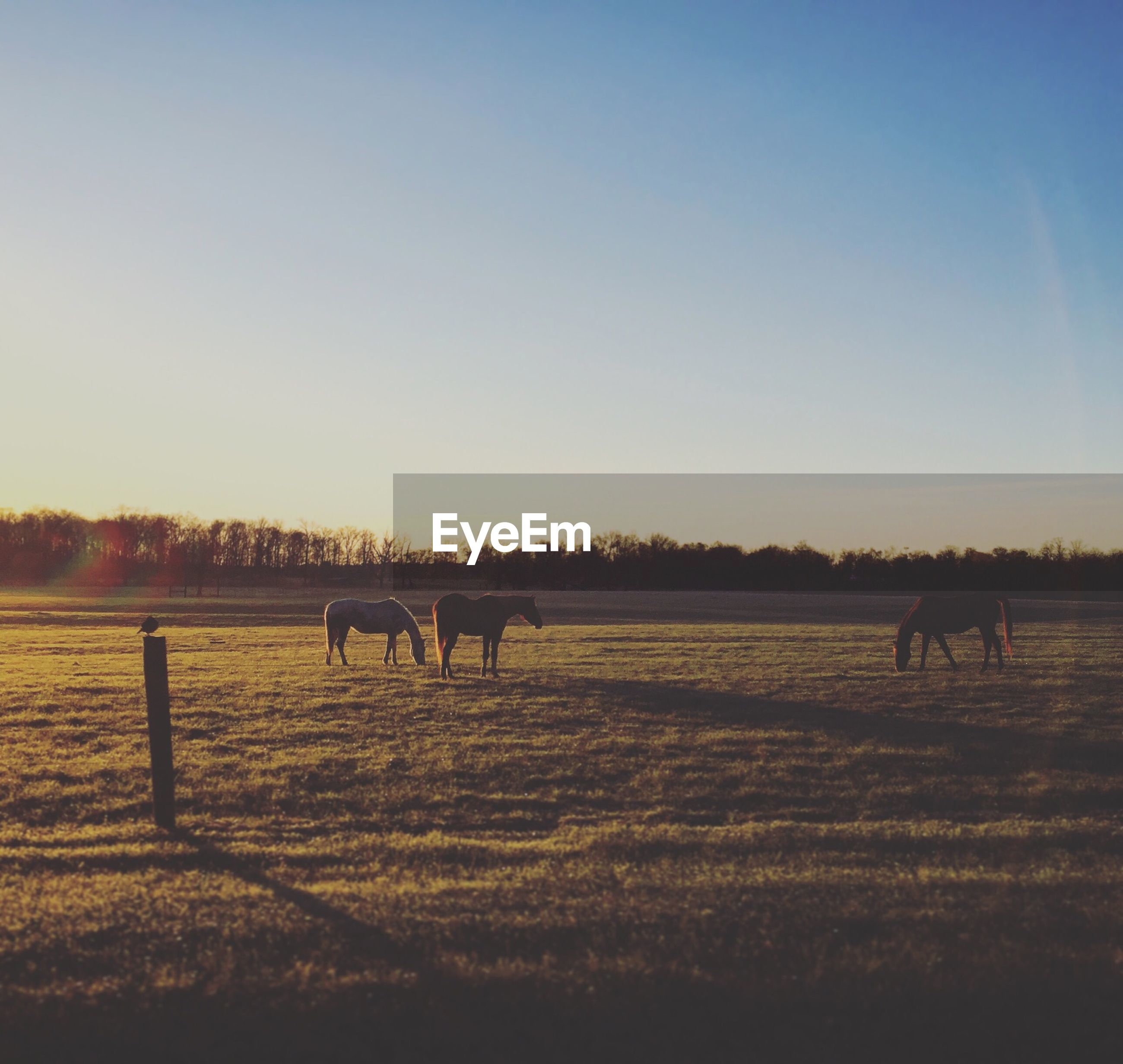 Horses grazing on grassy field against clear sky during sunset