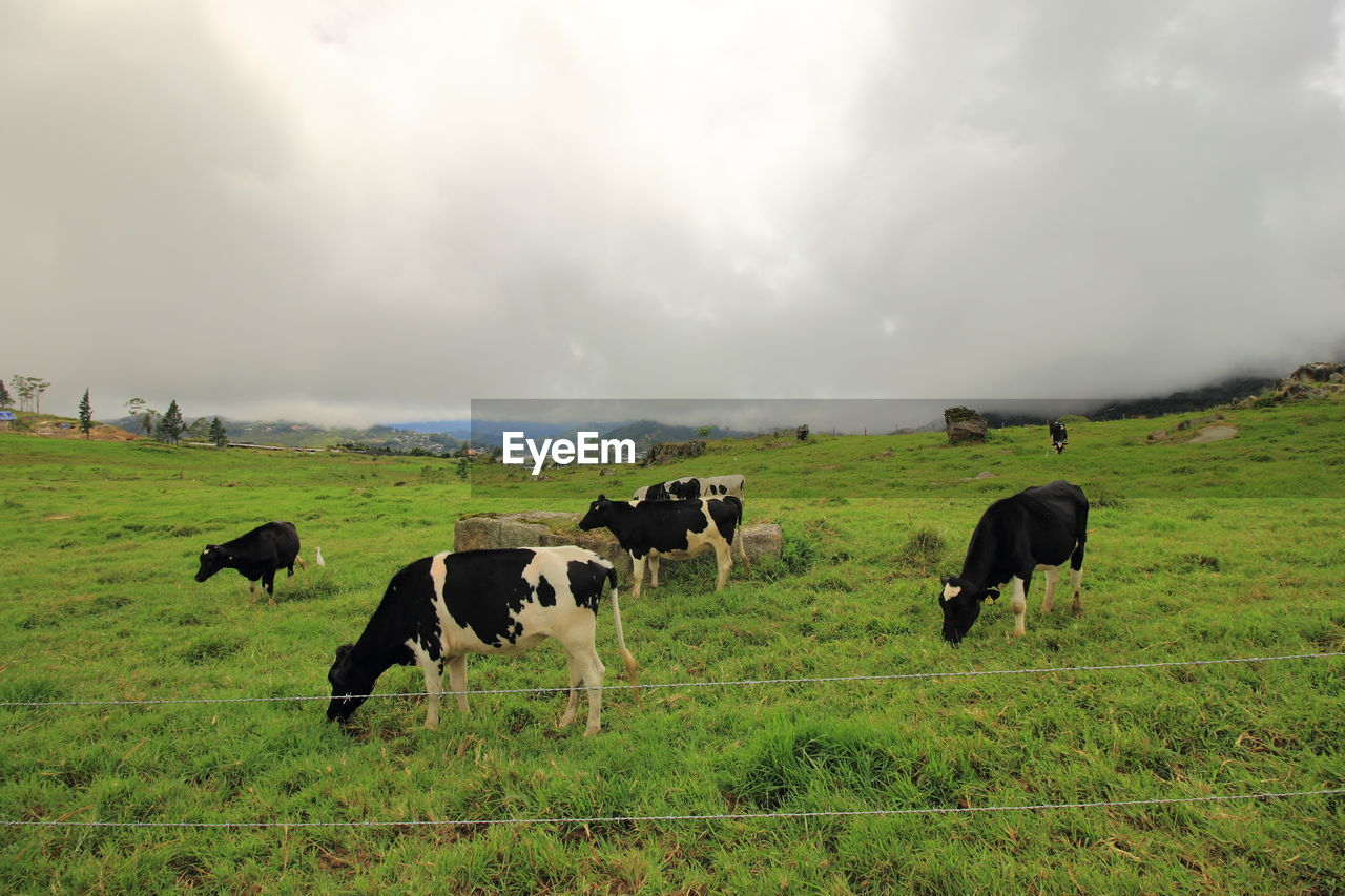 mammal, animal themes, domestic, domestic animals, group of animals, pets, animal, field, cloud - sky, livestock, land, landscape, vertebrate, cattle, sky, grass, cow, grazing, environment, nature, no people, outdoors, herbivorous, herd