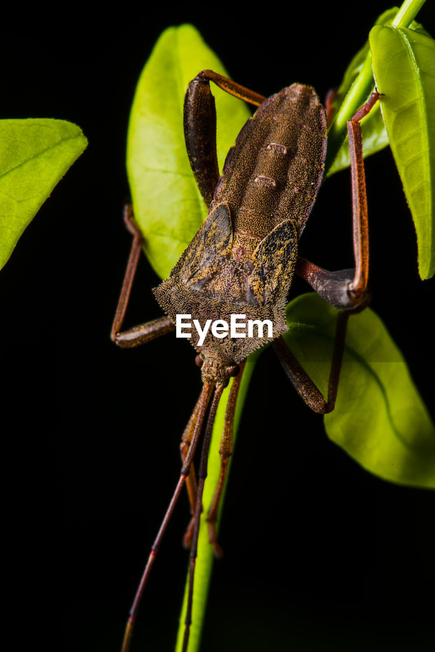 one animal, animals in the wild, animal wildlife, animal themes, close-up, animal, invertebrate, no people, nature, insect, plant part, plant, animal body part, leaf, green color, day, focus on foreground, animal antenna, selective focus, outdoors, black background, animal eye