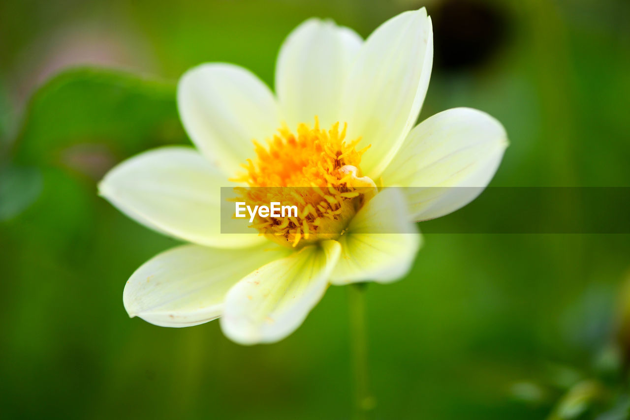 flower, flowering plant, vulnerability, fragility, plant, freshness, petal, beauty in nature, inflorescence, flower head, close-up, growth, pollen, nature, selective focus, no people, yellow, focus on foreground, day