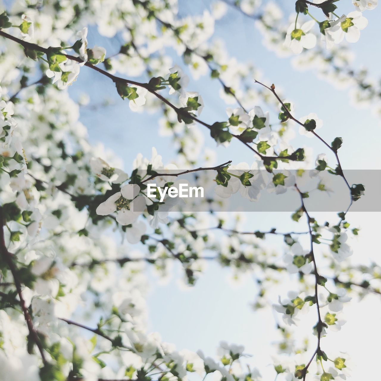 flower, branch, tree, fragility, freshness, beauty in nature, springtime, blossom, nature, white color, apple tree, apple blossom, growth, botany, low angle view, no people, day, twig, outdoors, close-up, flower head