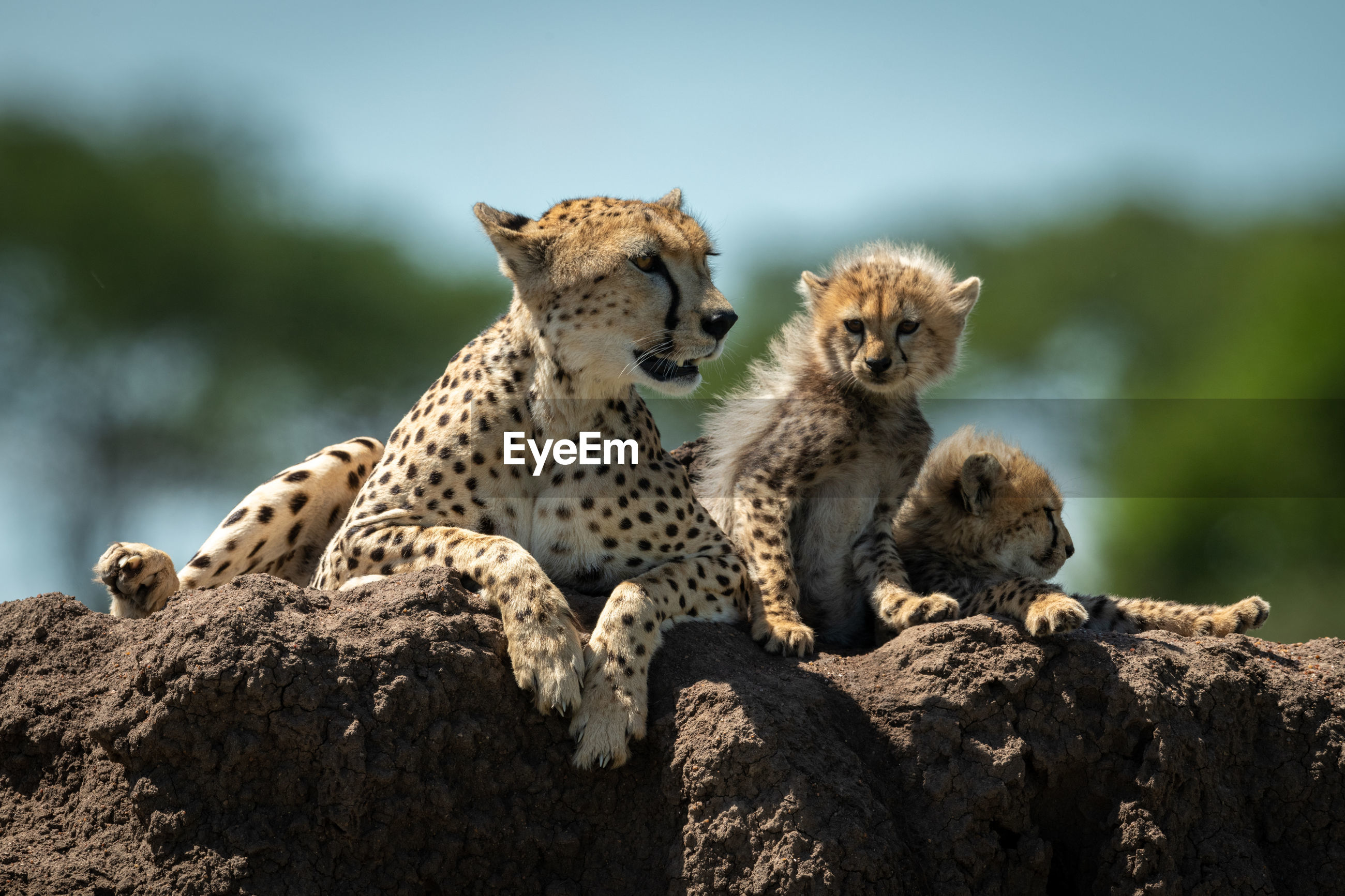 Cheetah family sitting on rock in forest