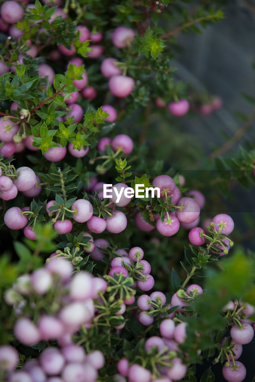 plant, growth, freshness, day, beauty in nature, selective focus, flower, close-up, nature, flowering plant, green color, no people, fragility, vulnerability, pink color, healthy eating, leaf, plant part, food and drink, food, outdoors, purple, flower head