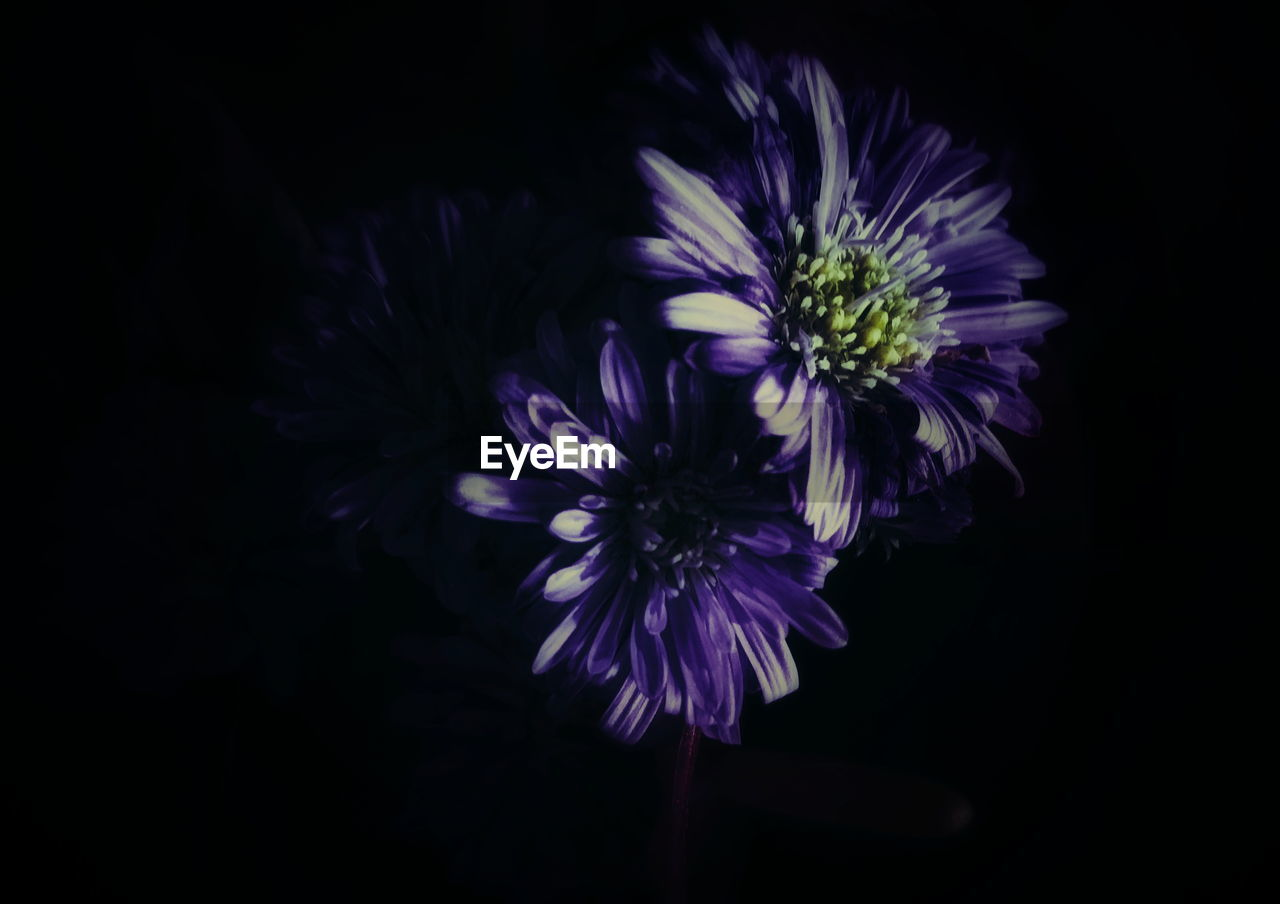 flower, growth, nature, purple, black background, studio shot, no people, blooming, beauty in nature, freshness, flower head