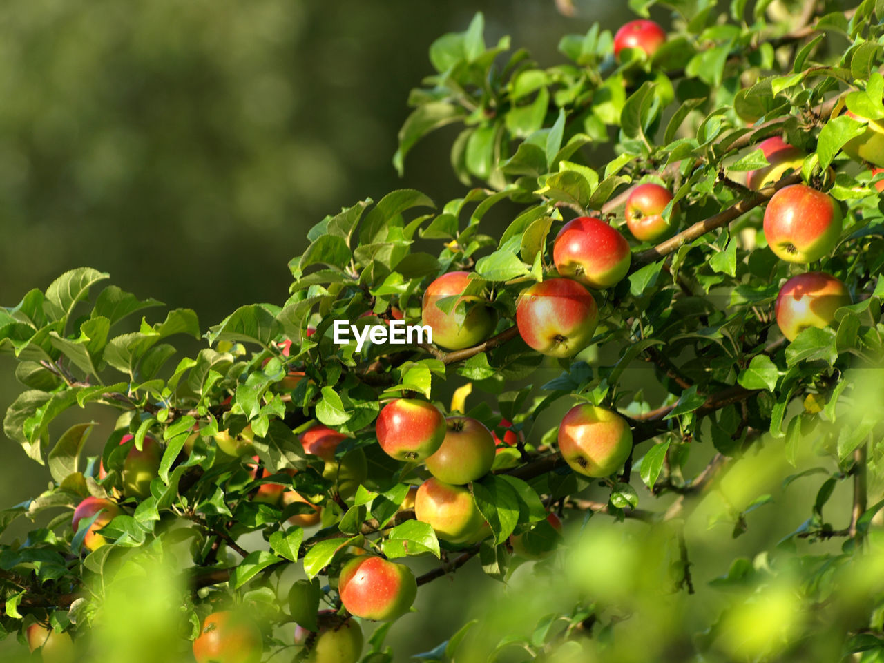fruit, healthy eating, food and drink, food, freshness, growth, wellbeing, plant, green color, nature, leaf, red, plant part, day, close-up, tree, selective focus, no people, beauty in nature, outdoors, ripe, rowanberry