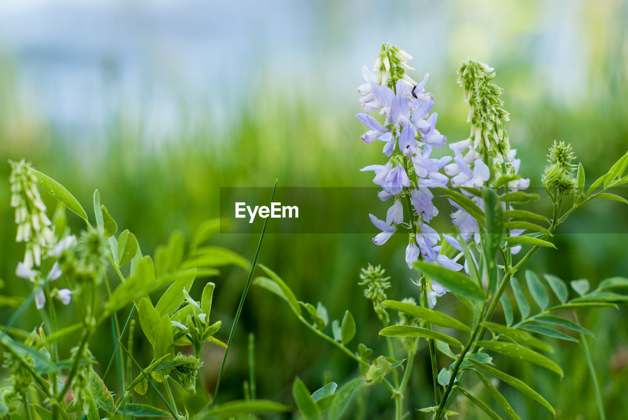 plant, growth, beauty in nature, flower, flowering plant, freshness, fragility, green color, vulnerability, close-up, selective focus, land, nature, field, day, no people, petal, focus on foreground, leaf, plant part, outdoors, flower head, purple, blade of grass