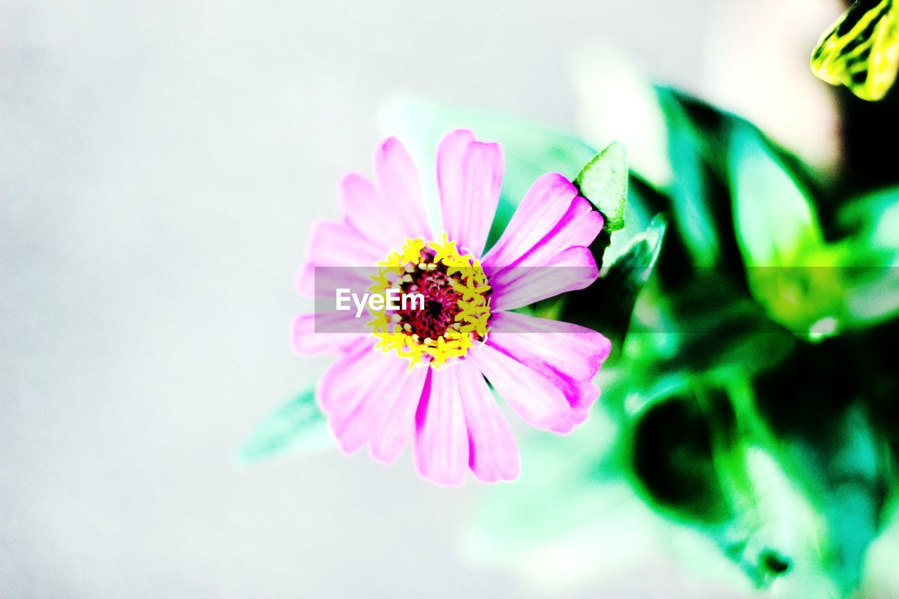 flowering plant, flower, fragility, vulnerability, freshness, petal, beauty in nature, flower head, inflorescence, plant, pink color, close-up, growth, pollen, focus on foreground, nature, no people, day, zinnia