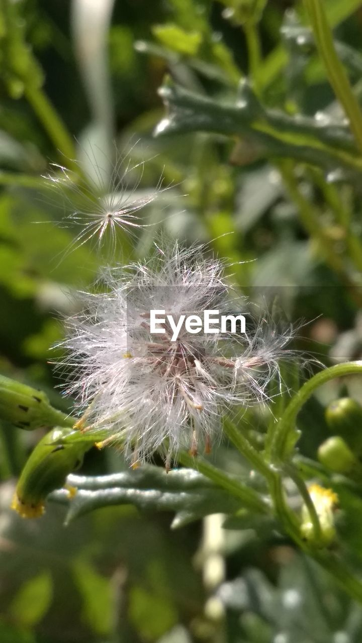 plant, fragility, close-up, vulnerability, flower, growth, beauty in nature, dandelion, flowering plant, no people, nature, freshness, softness, day, focus on foreground, selective focus, outdoors, white color, tranquility, seed, flower head, dandelion seed