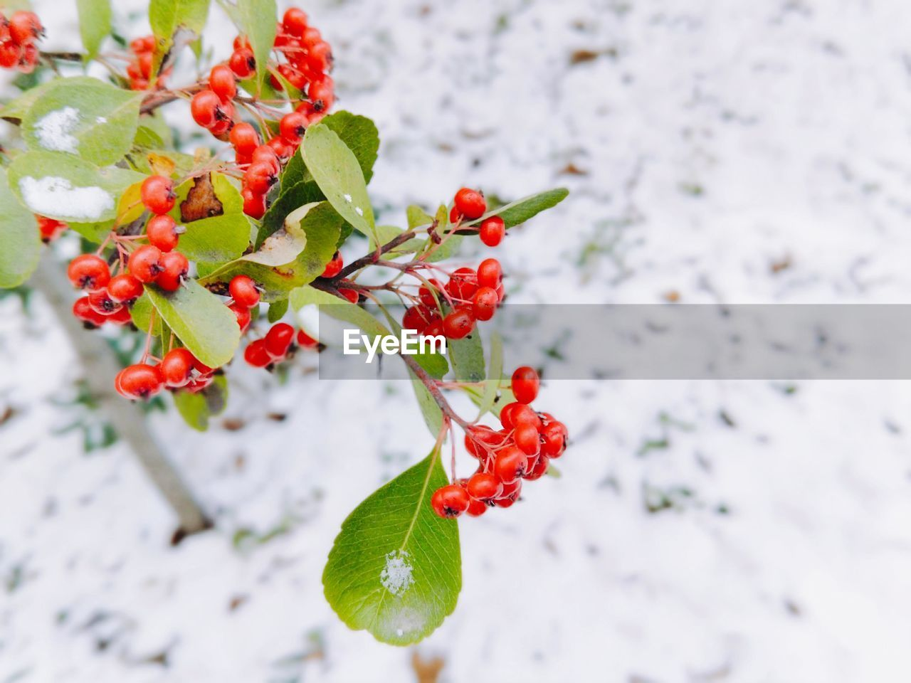 red, fruit, freshness, berry fruit, food, plant part, leaf, food and drink, healthy eating, plant, growth, beauty in nature, close-up, day, nature, no people, focus on foreground, snow, rowanberry, wellbeing, outdoors, ripe, red currant