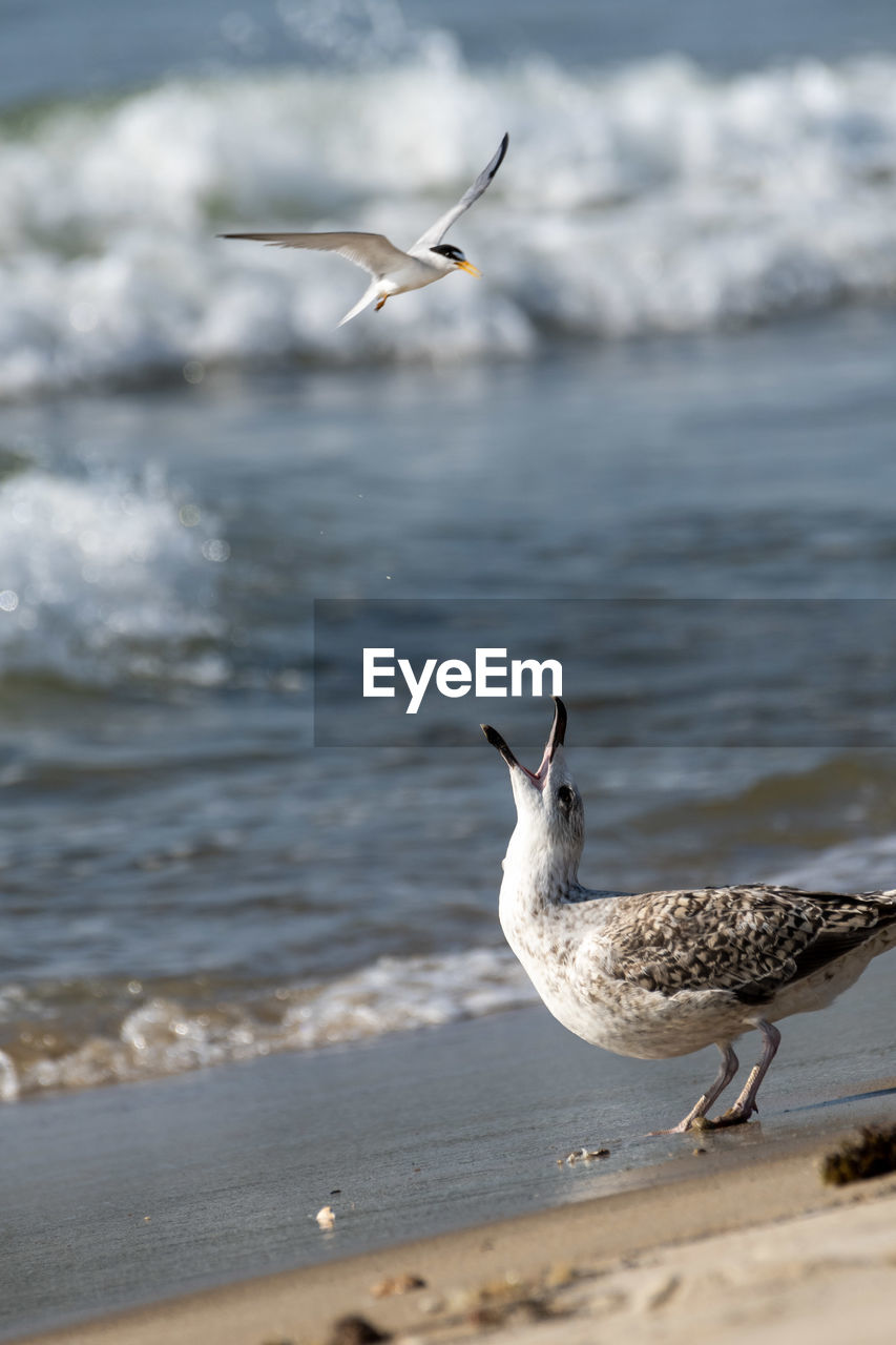 animal wildlife, animals in the wild, animal themes, animal, vertebrate, water, beach, bird, sea, land, flying, group of animals, nature, focus on foreground, seagull, day, beauty in nature, two animals, no people, outdoors