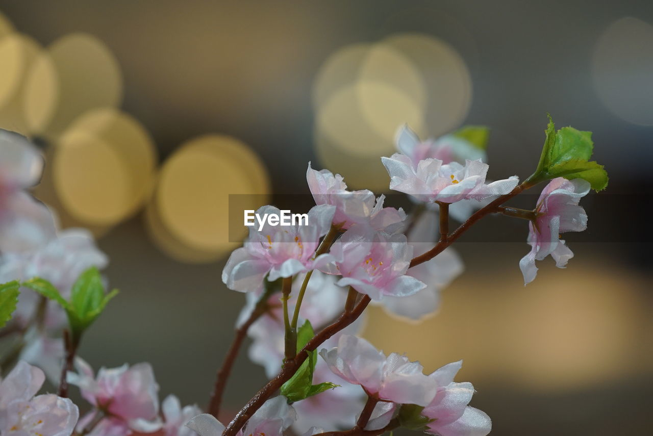 flower, flowering plant, plant, beauty in nature, freshness, fragility, vulnerability, growth, close-up, petal, no people, inflorescence, flower head, nature, springtime, blossom, pink color, selective focus, day, focus on foreground, outdoors, cherry blossom, pollen, cherry tree, bunch of flowers