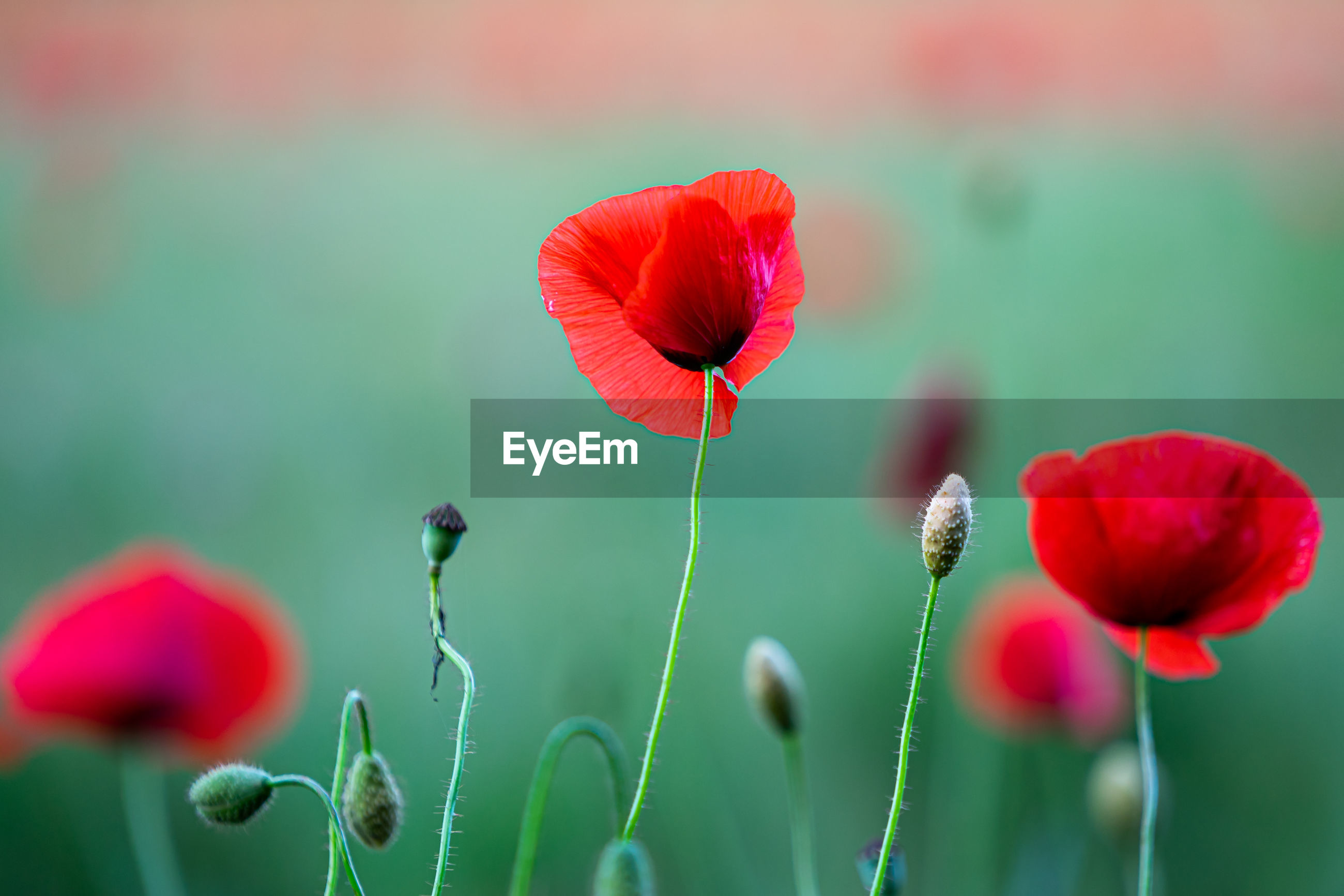 CLOSE-UP OF RED POPPY FLOWERS AGAINST PLANTS