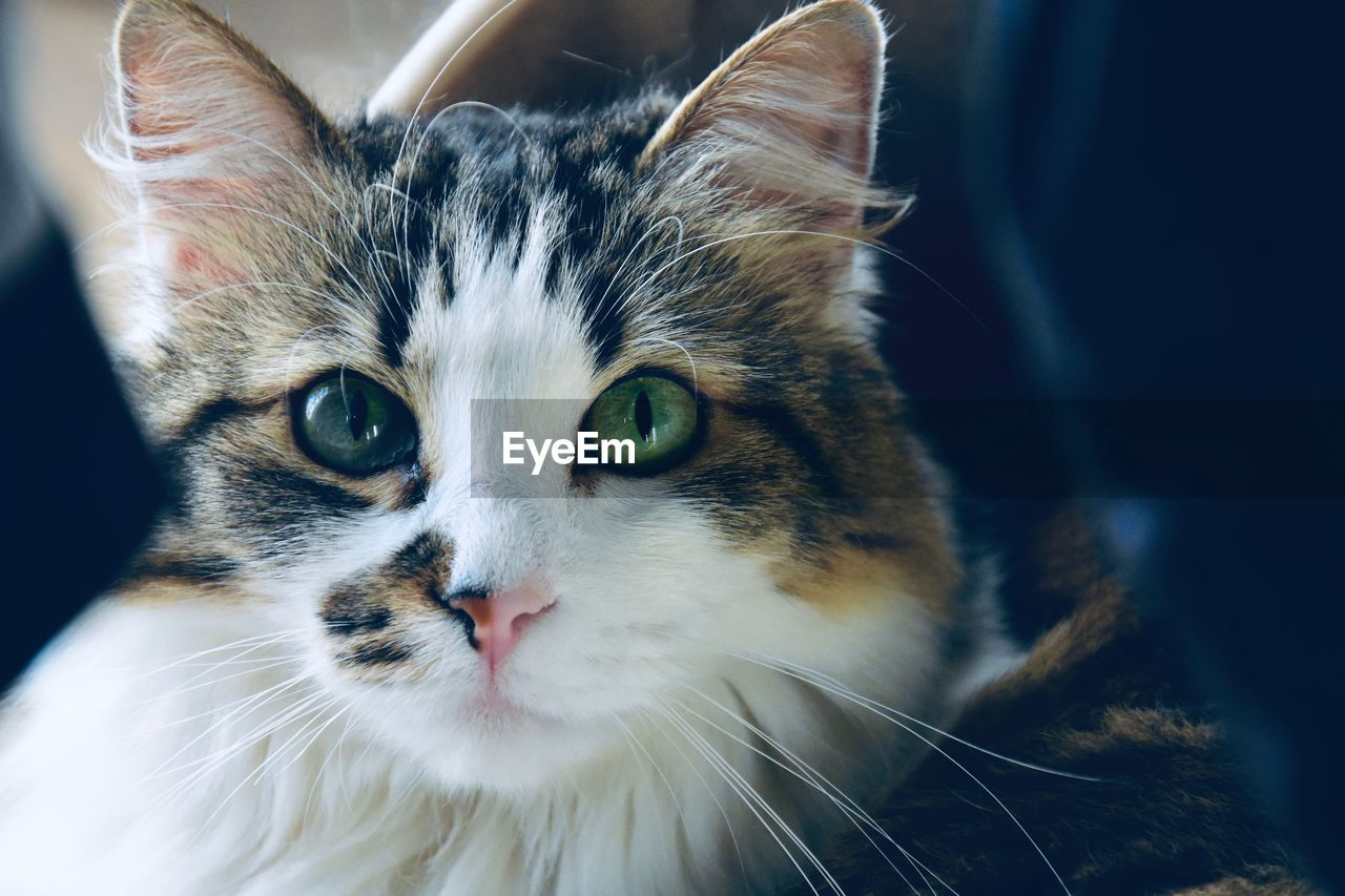 cat, animal themes, feline, animal, mammal, domestic cat, one animal, domestic animals, domestic, vertebrate, pets, whisker, portrait, close-up, looking at camera, no people, focus on foreground, animal body part, indoors, front view, animal head, animal eye