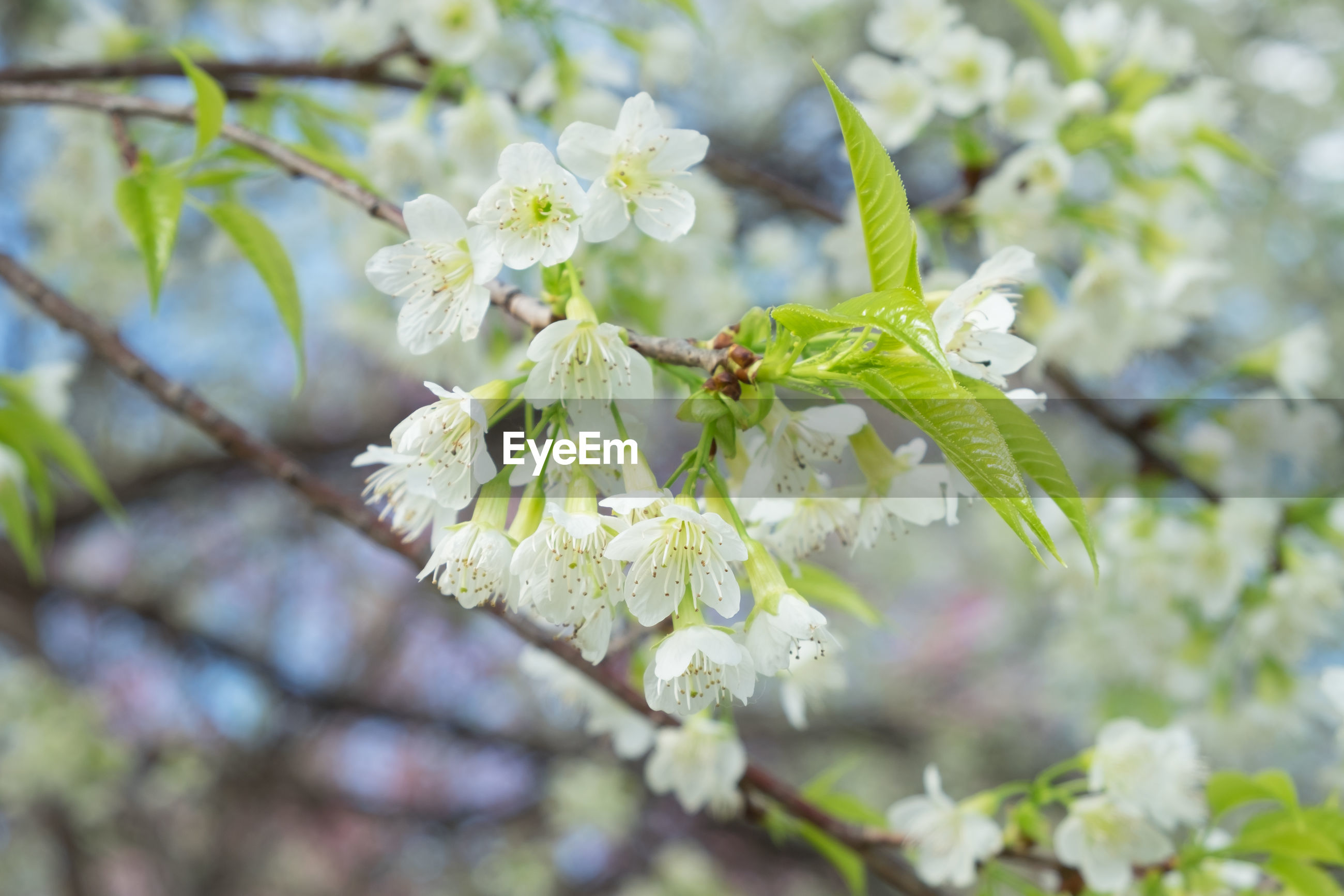 CLOSE-UP OF WHITE BLOSSOM ON BRANCH OF TREE
