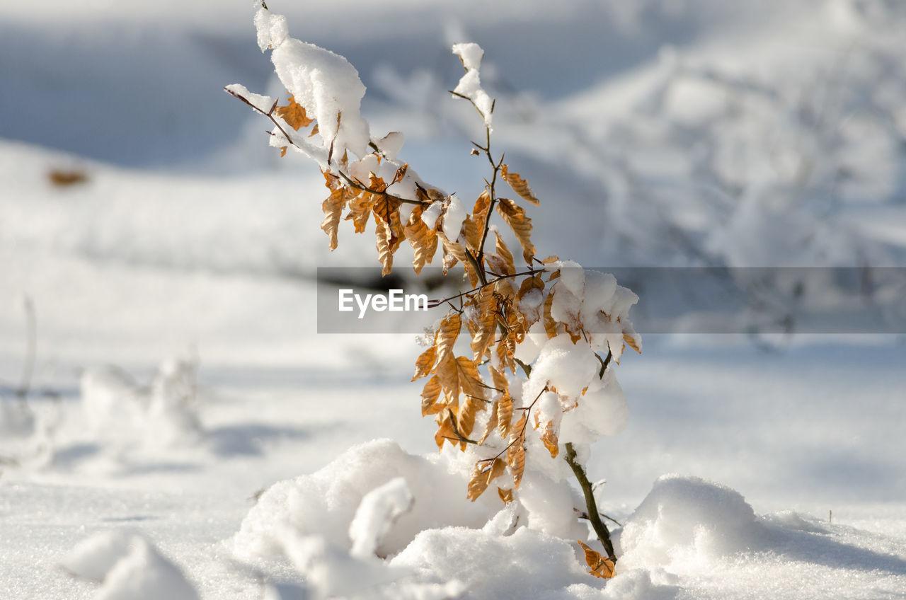 CLOSE-UP OF FROZEN FLOWER ON FIELD