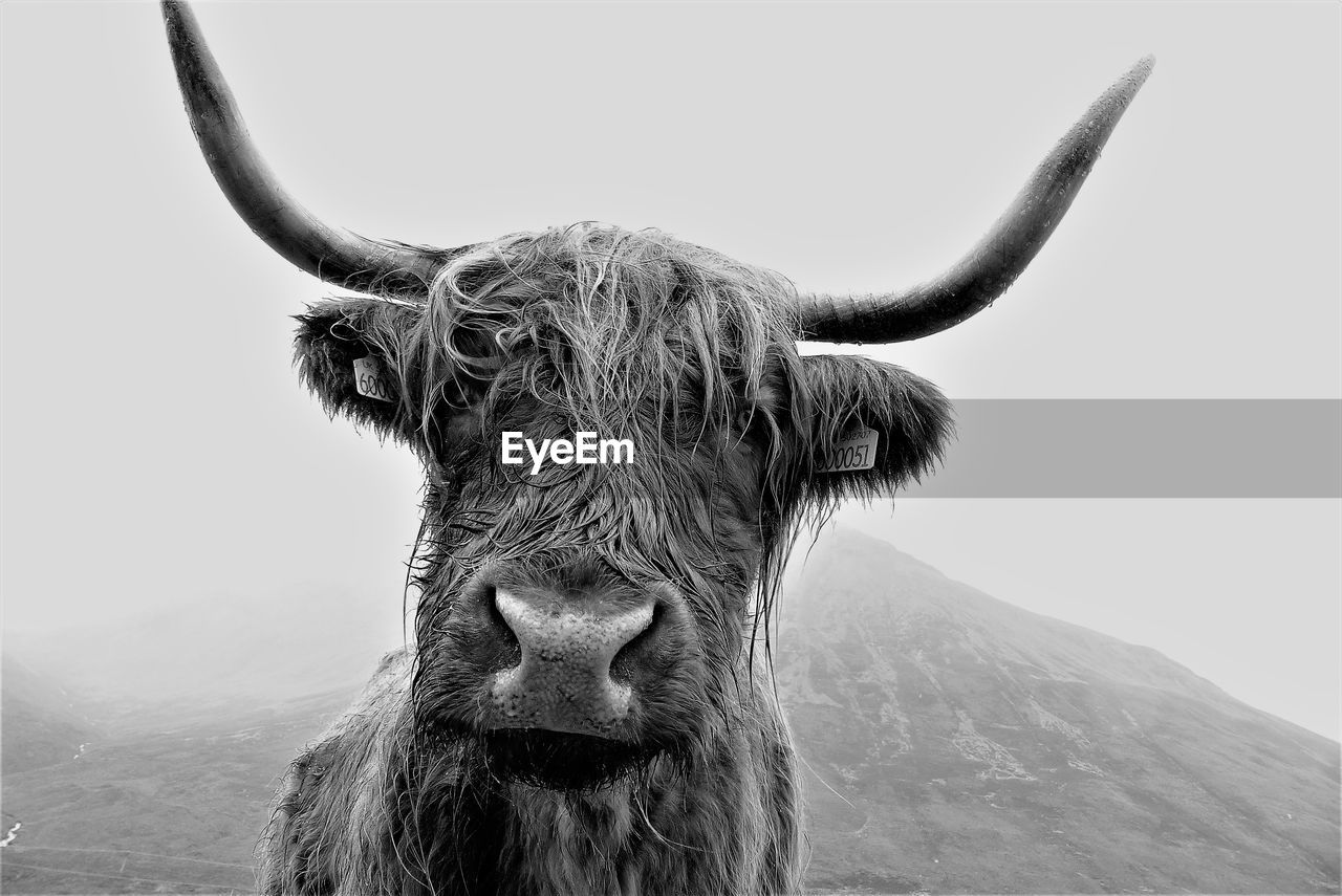 animal, animal themes, mammal, horned, livestock, animal wildlife, one animal, domestic animals, vertebrate, domestic, cattle, pets, animal hair, no people, day, nature, animal body part, field, highland cattle, animal head, outdoors, herbivorous