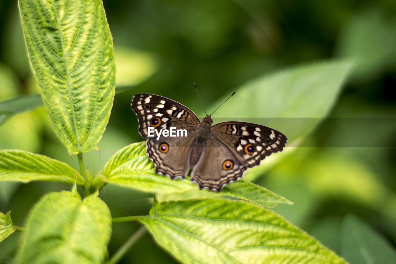 plant part, leaf, insect, invertebrate, one animal, animal wing, animal themes, animals in the wild, animal, butterfly - insect, animal wildlife, plant, beauty in nature, close-up, green color, growth, nature, day, no people, focus on foreground, butterfly, outdoors, leaves