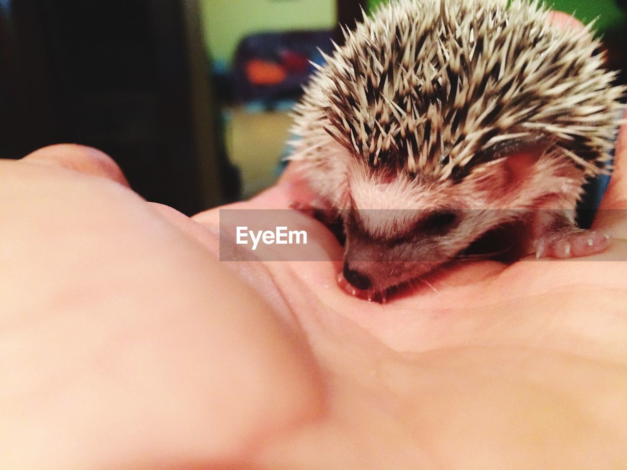 Cropped Hand Of Person Holding Hedgehog